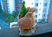 海螺花盆中徒长的水晶玉露