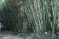 杭州湘湖水边竹林