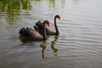 荷塘两只黑天鹅