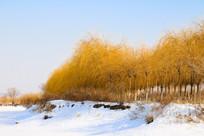 积雪堤岸黄金柳