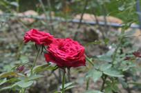 两朵红色月季花