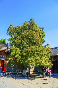沈阳张区帅府庭院梧桐树