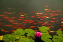 睡莲观赏鱼