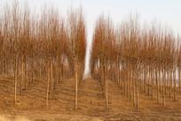 整齐的树木