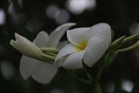 白色的鸡蛋花