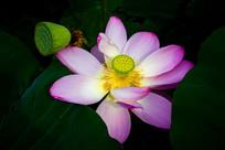 粉色荷花与莲蓬
