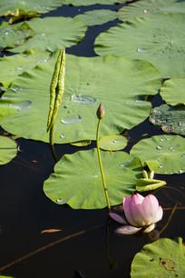 荷塘莲叶水珠花蕾