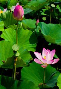 开放的荷花莲蓬花蕾