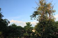蓝天白云与树