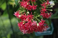 漂亮的红花檵木