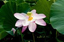 一朵荷花与荷叶花瓣