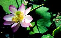 一朵盛开的粉色莲花