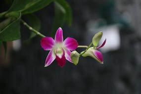 紫红色的蝴蝶兰花