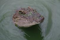钻出水面的鳄鱼头