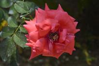 白云山云台花园红花月季