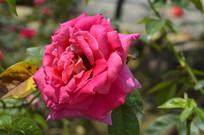 白云山云台花园红月季