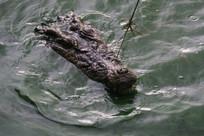 被勾住的鳄鱼