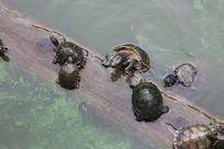 放生池的乌龟