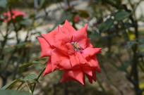 广州云台花园红色花朵月季