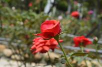 广州云台花园红色玫瑰花