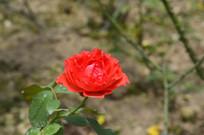 广州云台花园红色微型月季