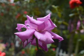 广州云台花园紫花月季