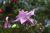 广州云台花园紫色花朵月季