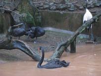 黑天鹅与仙鹤