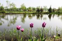 河畔郁金香花与树木倒影