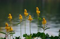 湖边的小花