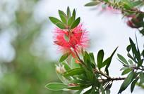 毛绒绒的绿叶小红花
