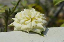 漂多斯月季花