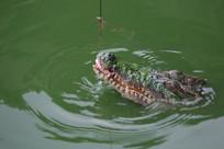 上钩的鳄鱼