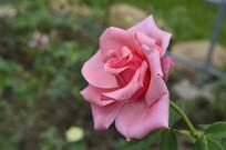 盛开的粉扇月季花