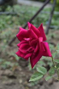 盛开的黑夫人月季花