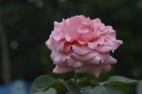 盛开的一鸣惊人月季花
