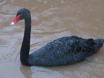 水中的黑天鹅特写