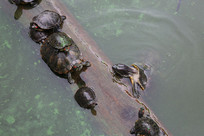 水中挣扎的乌龟