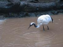 水中啄食的丹顶鹤