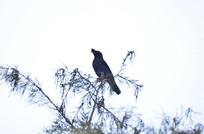 树枝上的乌鸦