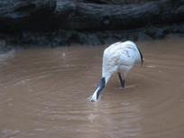 头埋入水中的丹顶鹤