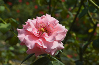夏季盛开的淡粉色月季
