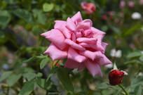 夏季盛开的粉红月季