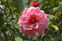 夏季盛开的粉色月季