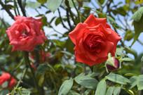夏季盛开的红花月季