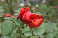 夏季盛开的红玫瑰