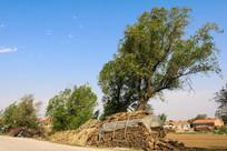 乡村农家柴垛柳树