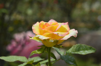 一朵阿班斯月季花