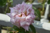 一朵春雨月季花