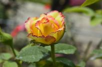 月季花品种阿班斯
